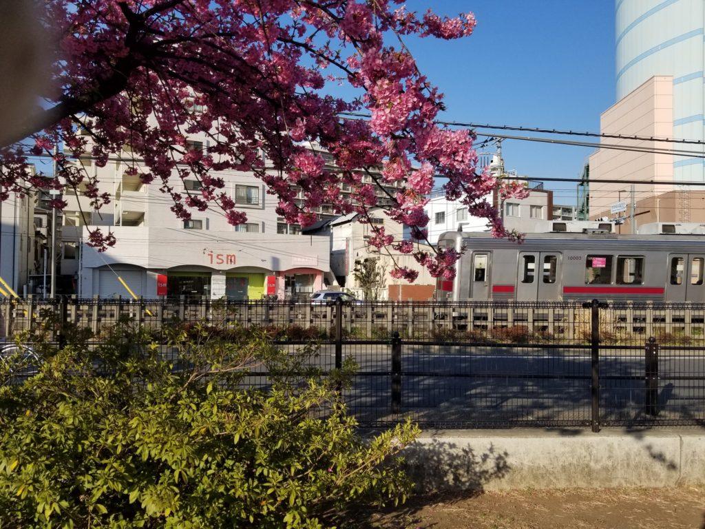 練馬の河津桜
